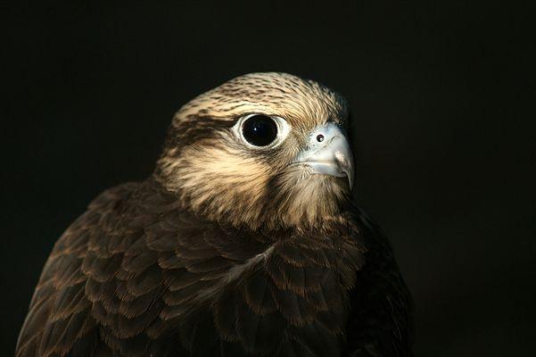 Auge in Auge mit dem Falken