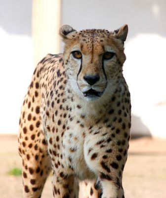 Auge in Auge mit dem Gepard