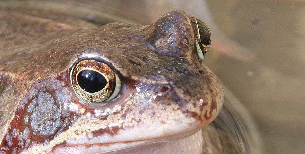 Auge in Auge mit dem Grasfrosch