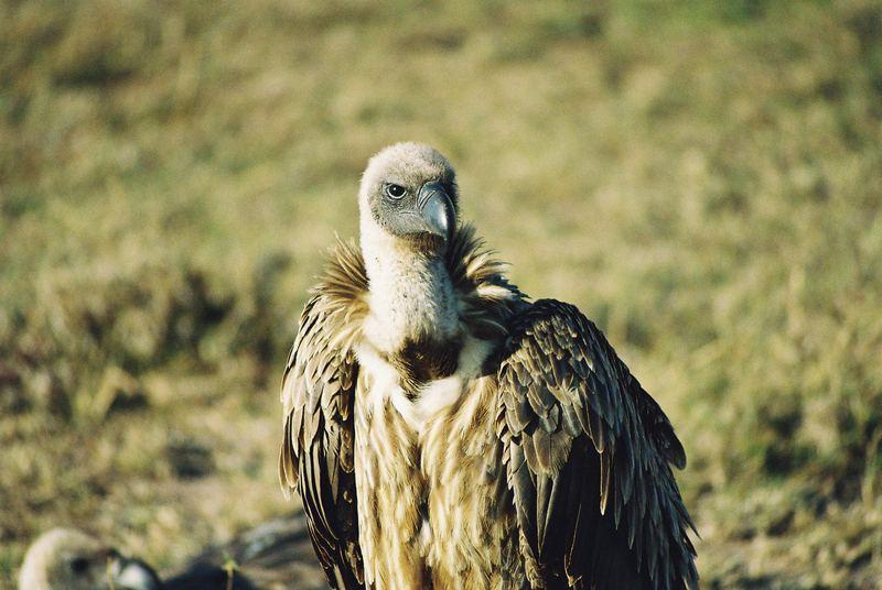 Auge in Auge mit einem Geier in der Mara