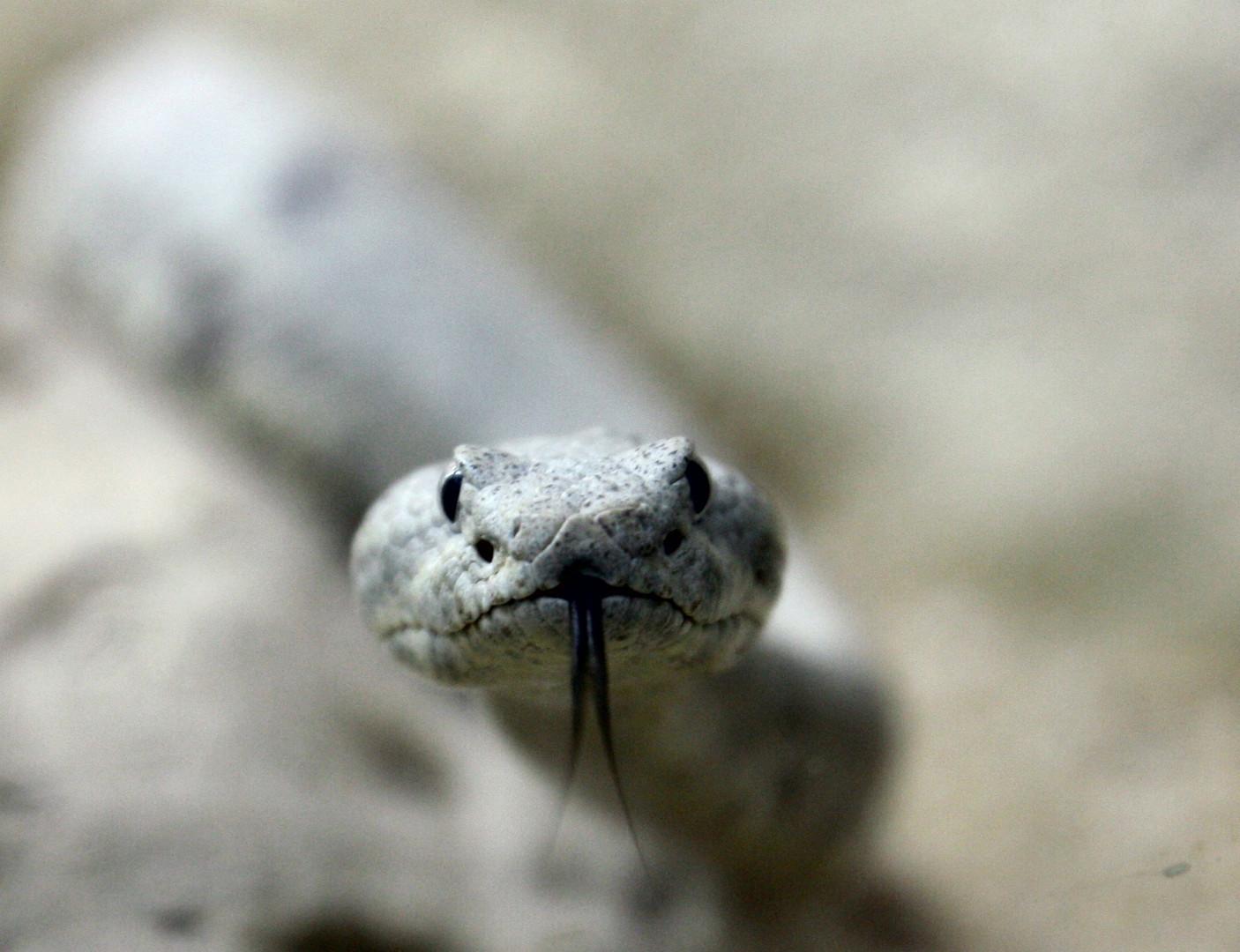 Auge in Auge mit einer Klapperschlange
