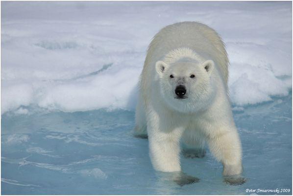 Auge in Auge mit Polarbär