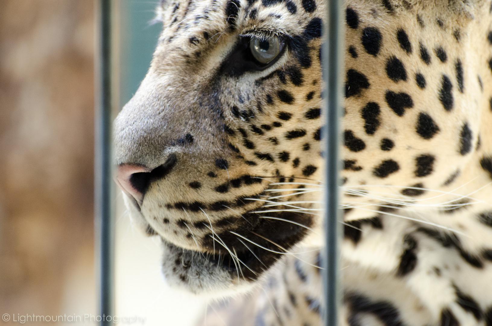 Auge Jaguar