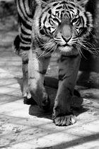 Auge um Auge mit dem Tiger