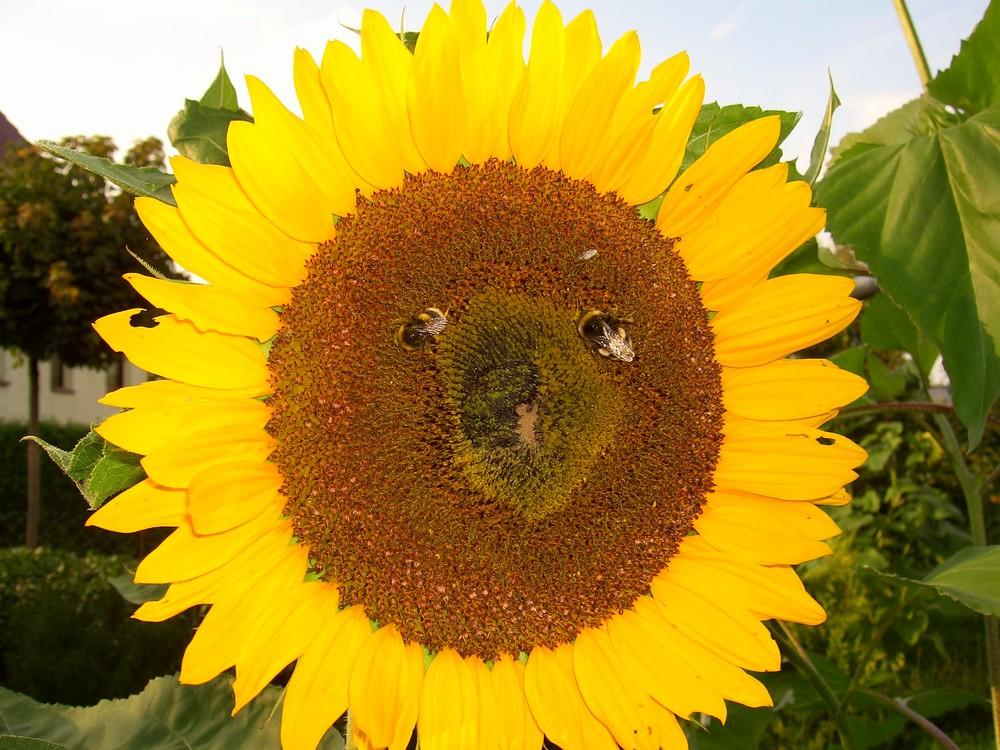 Augen der Sonnenblume