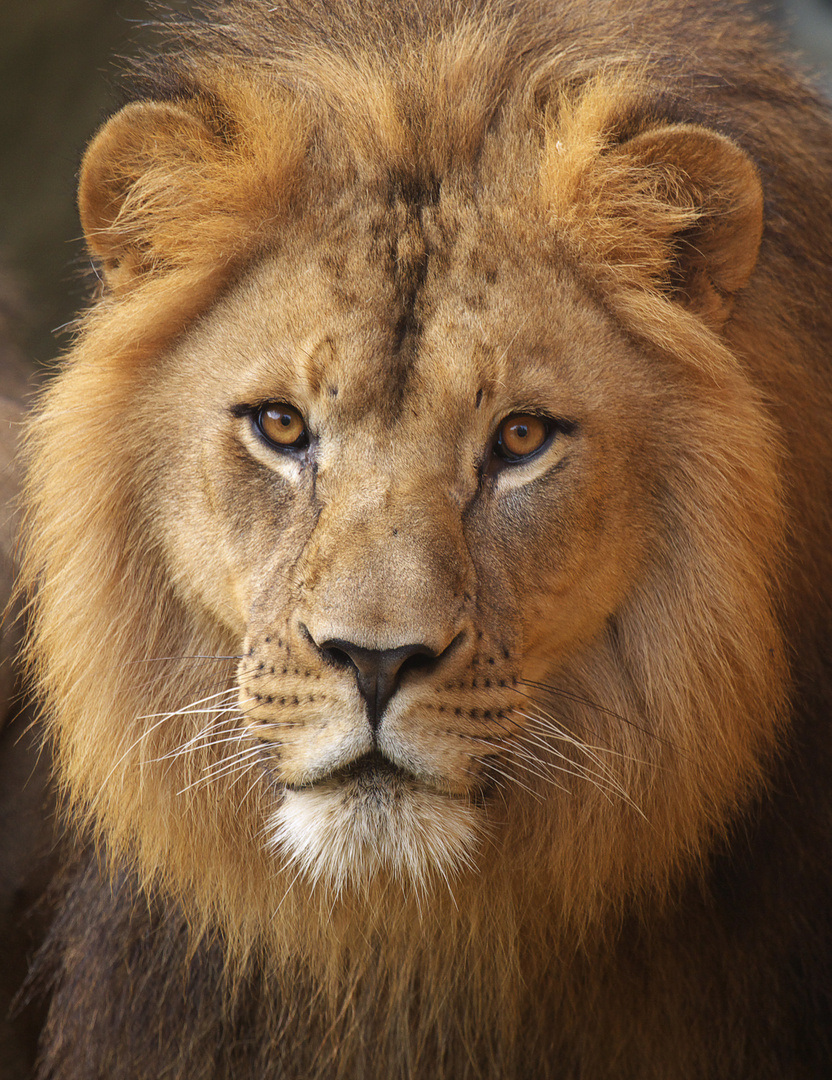 Augen des Löwen
