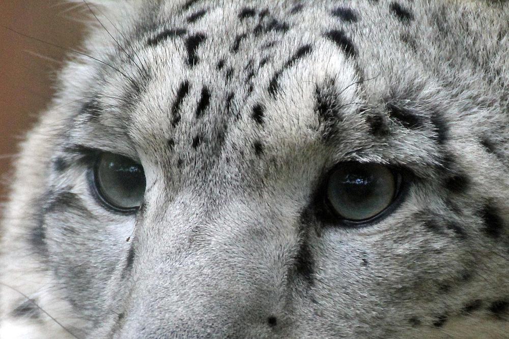 Augen des Schneeleoparden