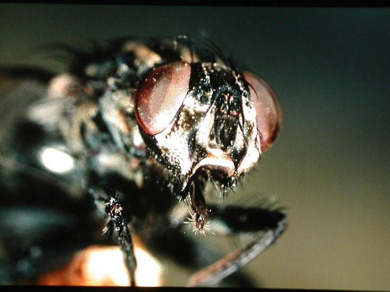 Augen einer Stubenfliege