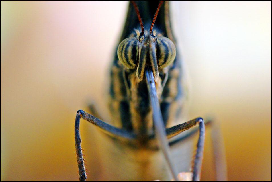 Augen eines Schmetterlings [3]