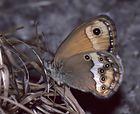 Augenfalter ~6~ Coenonympha dorus