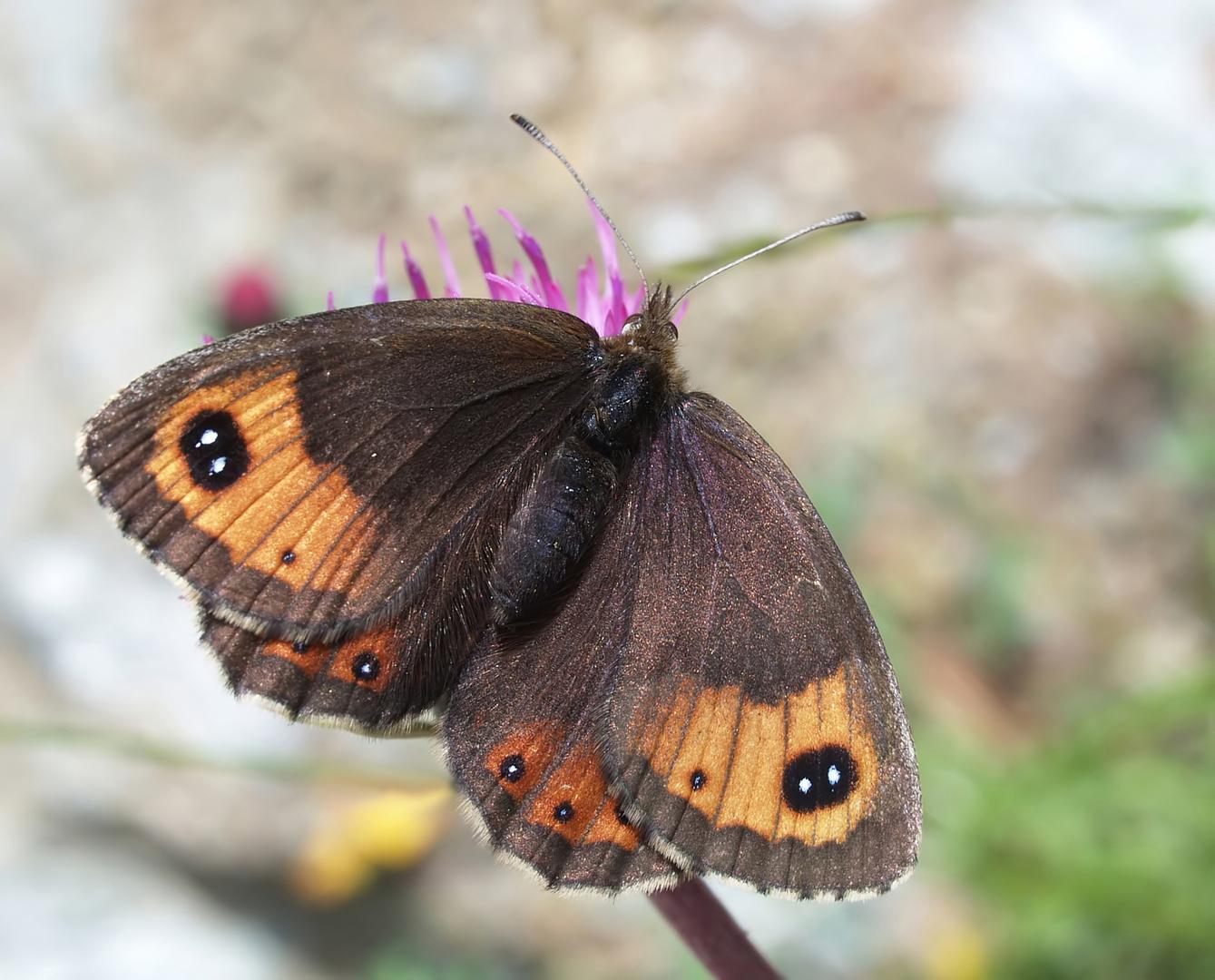 Augenfalter ~7~ Erebia montana