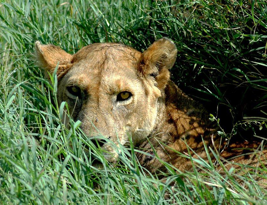"""""""Augen""""kontakt in der Serengeti"""