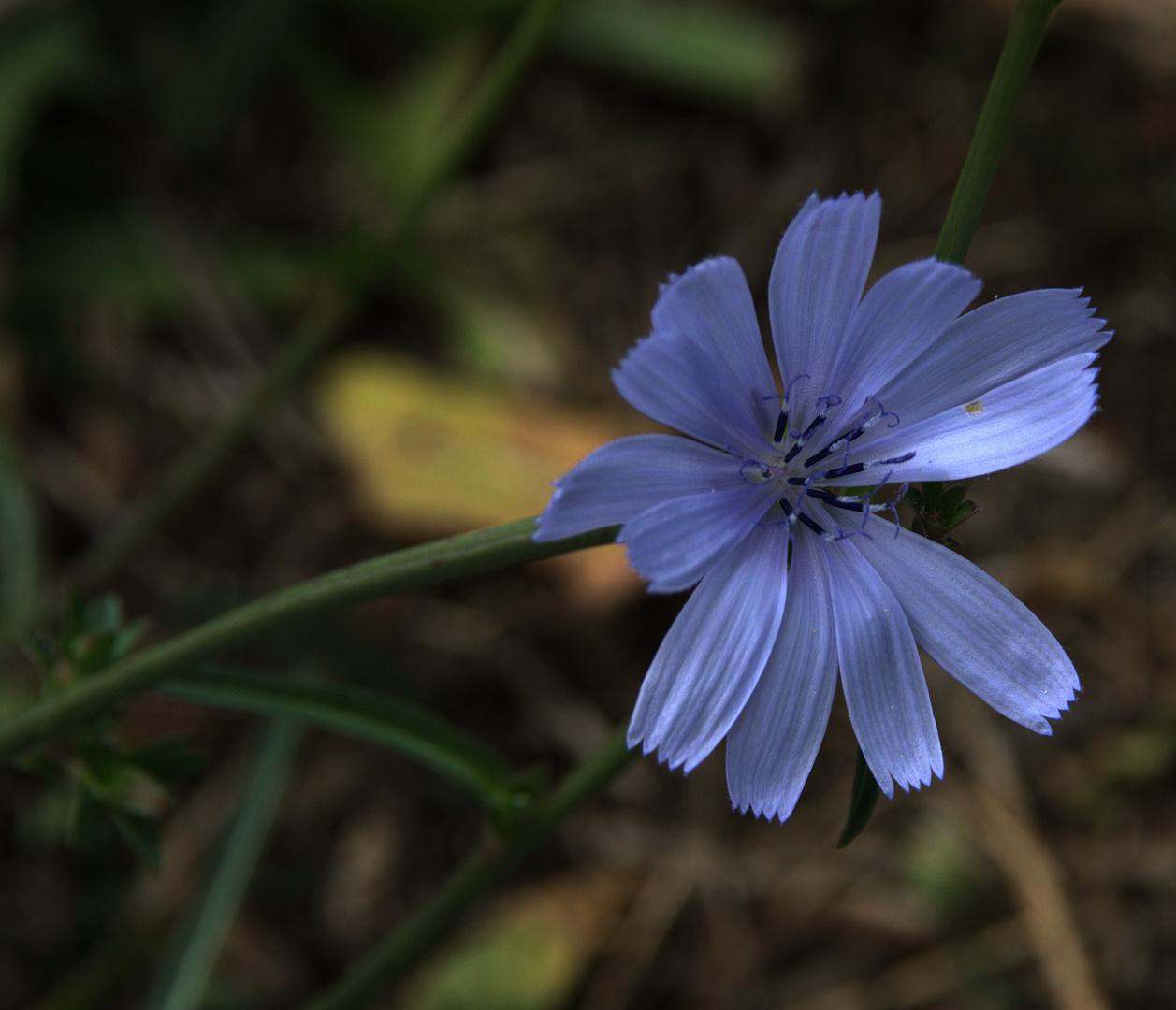 Aujourd'hui, je suis ...... fleur bleue !!