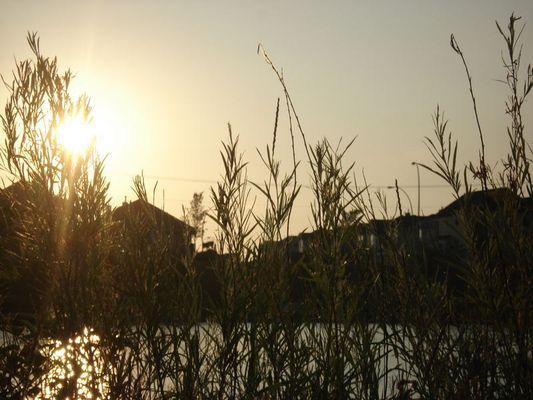 Aurore matinale, les Salix s'eveillent