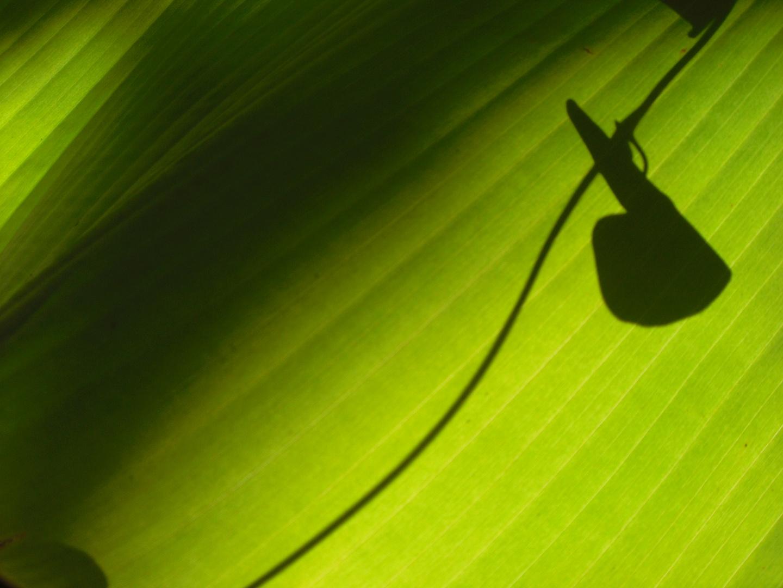 Aus dem Leben der Bananenblaetter... geheimnisvoll