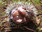 Aus dem Nest gepurzelter junger Igel I