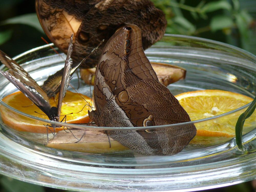 Aus dem Schmetterlingshaus der Insel Mainau