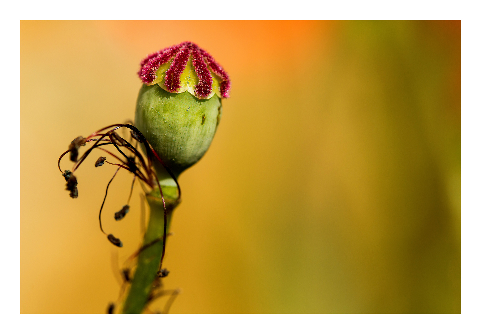 Aus der Familie der Papaveraceae