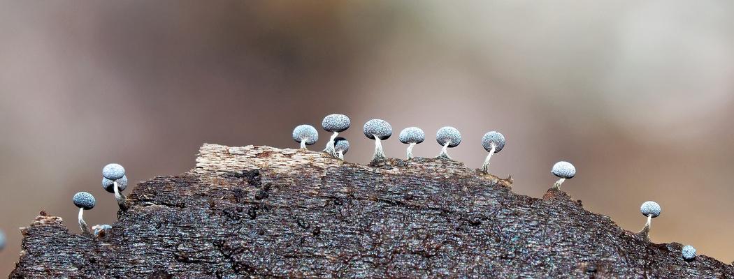 Aus der Mini-Welt: Baumwoll Stielkügelchen (Physarum nutans) - Mini moisissures!