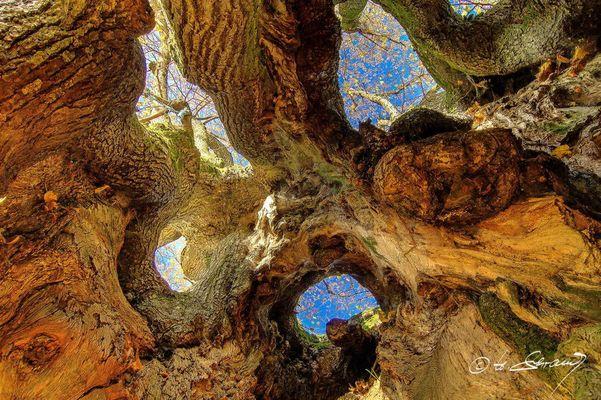 aus der Seele des Baumes ....