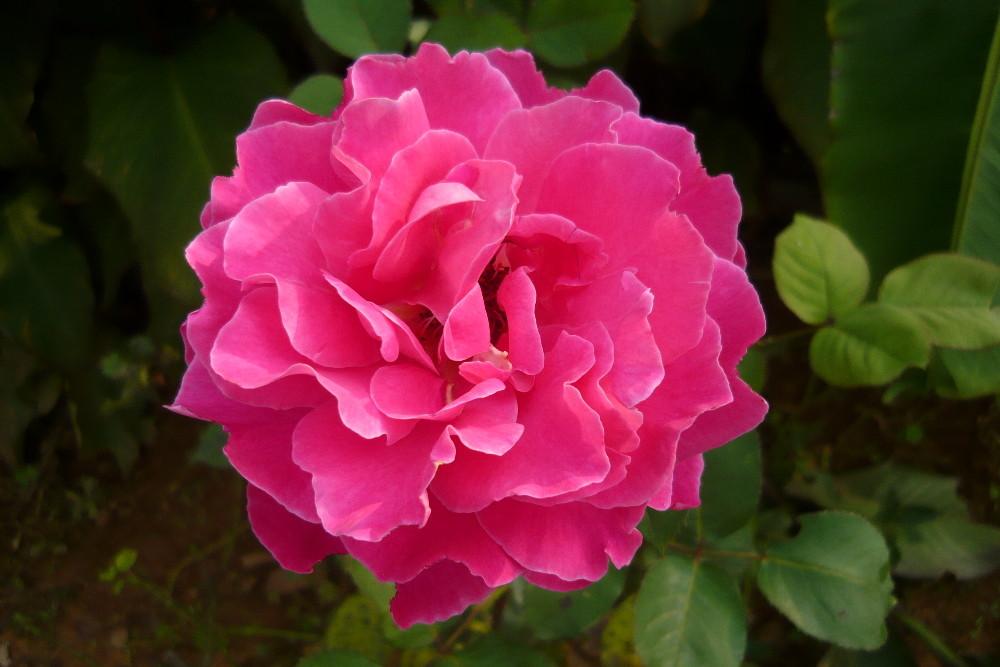 Aus einem Kunminger Rosengarten
