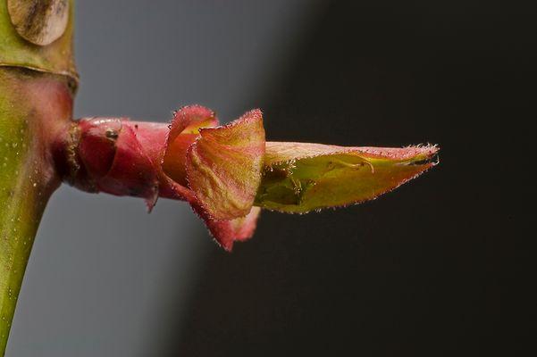 aus mir wird eine wunderschöne rote Rose - versprochen