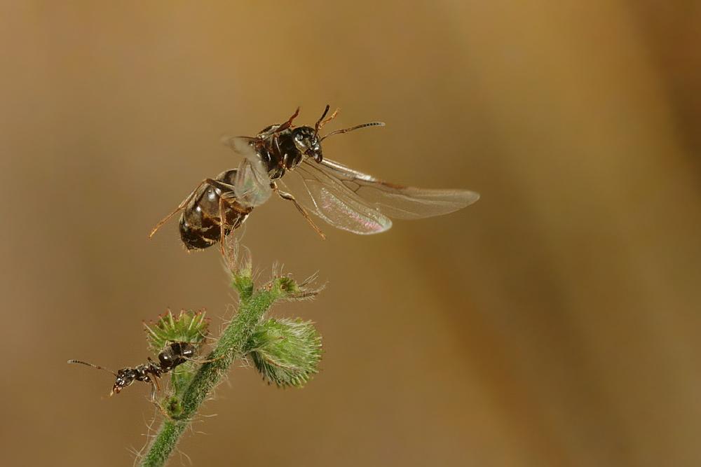 Ausfliegende Ameise