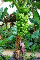 Ausgerechnet Bananen
