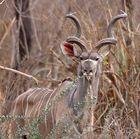 Ausgewachsener Kudu