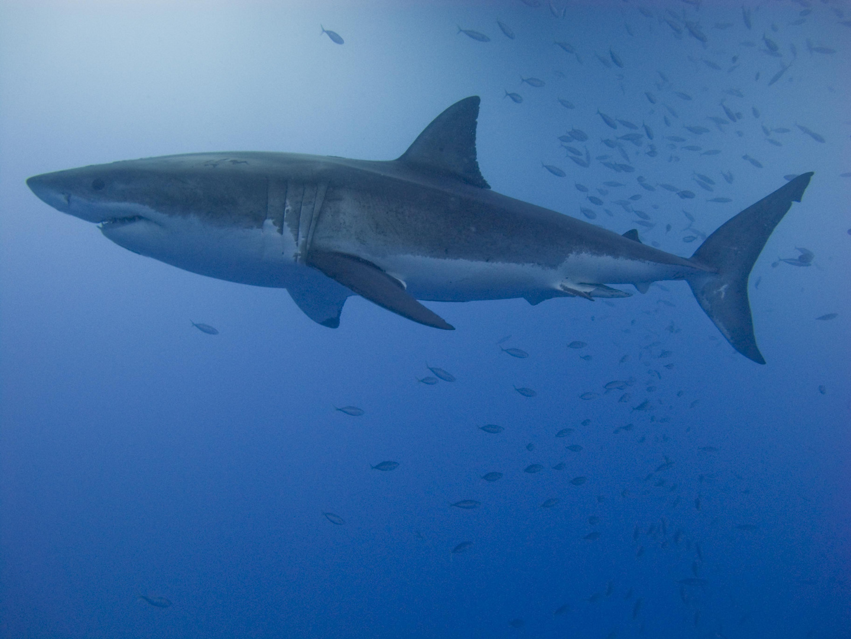 Ausgewachsener männlicher weißer Hai