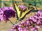 Ausruhen auf dem Schmetterlingsflieder