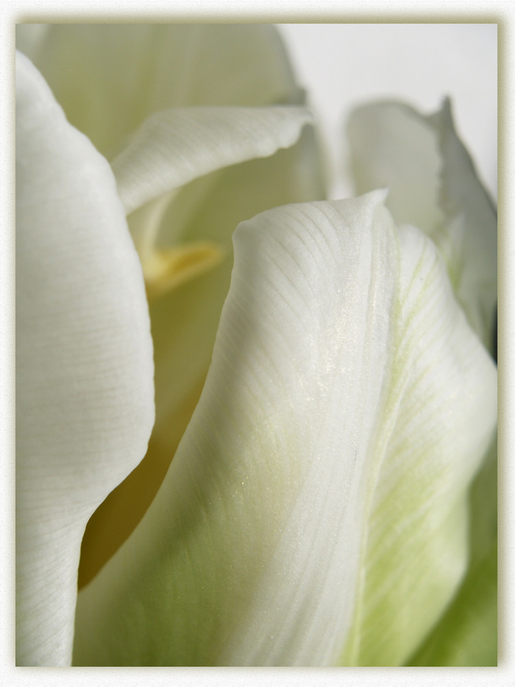 Ausschnitt einer Tulpe
