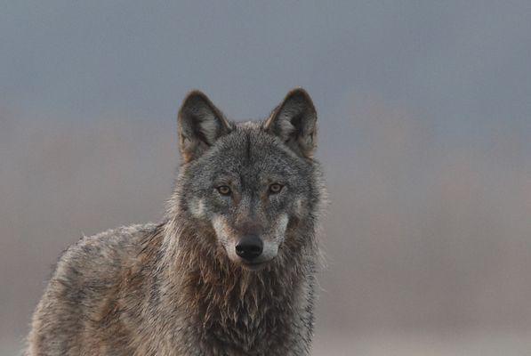 Ausschnitt Wolf