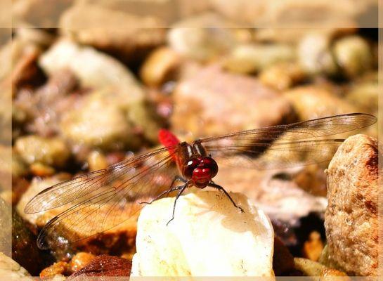 aussie libelle