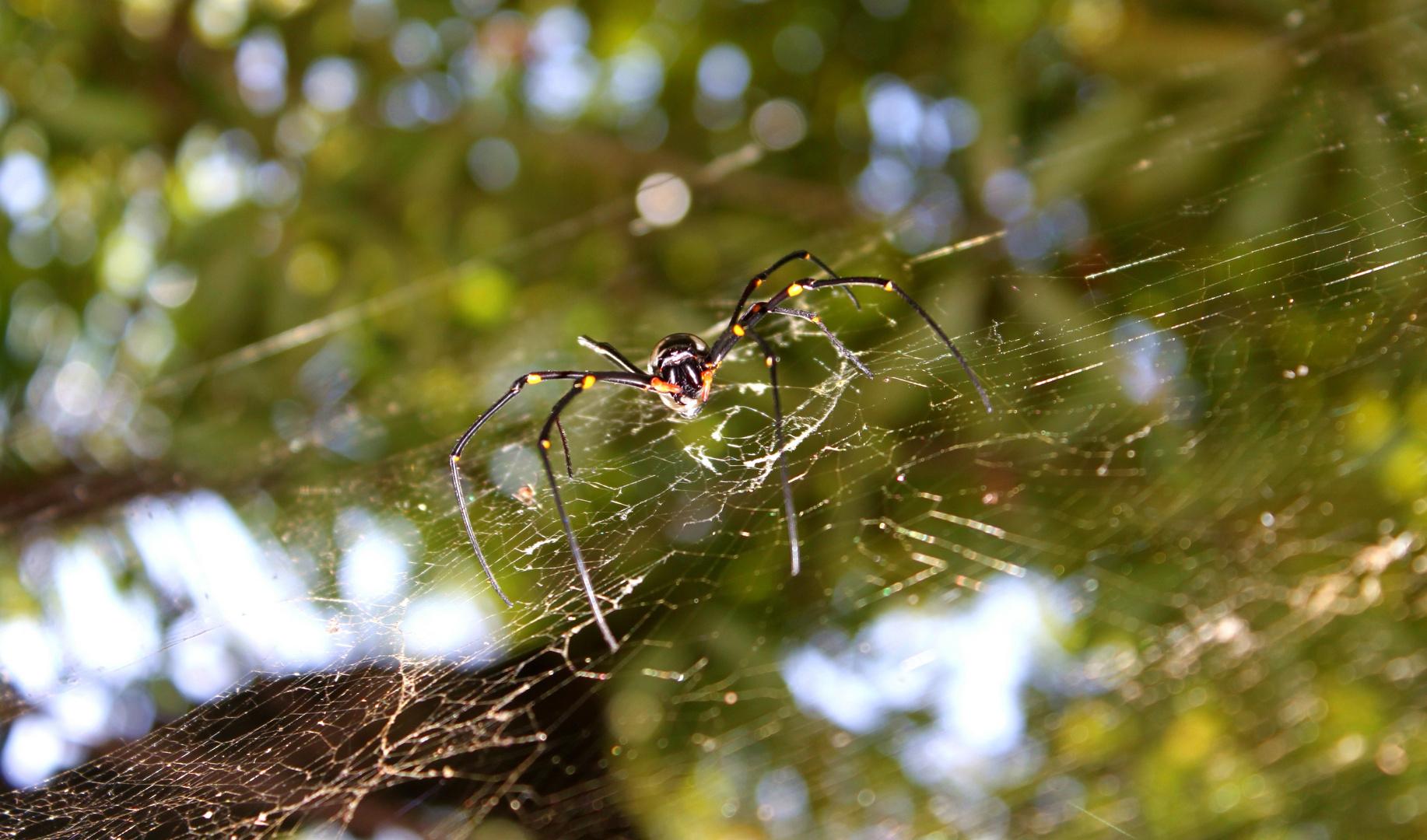 aussie-spider