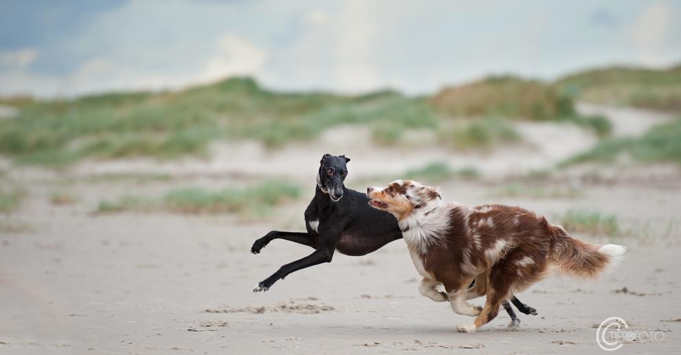 Aussie vs. Windhund