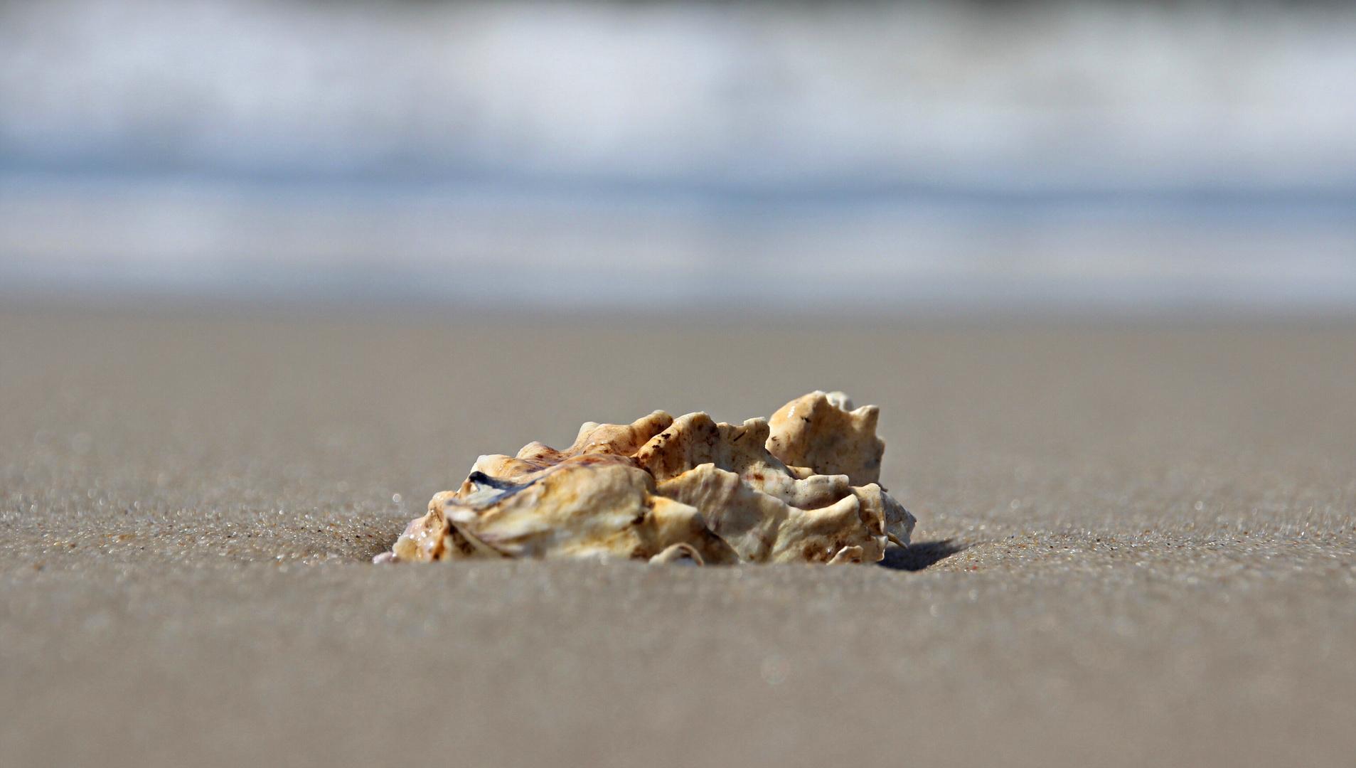 Auster am Strand von Sylt