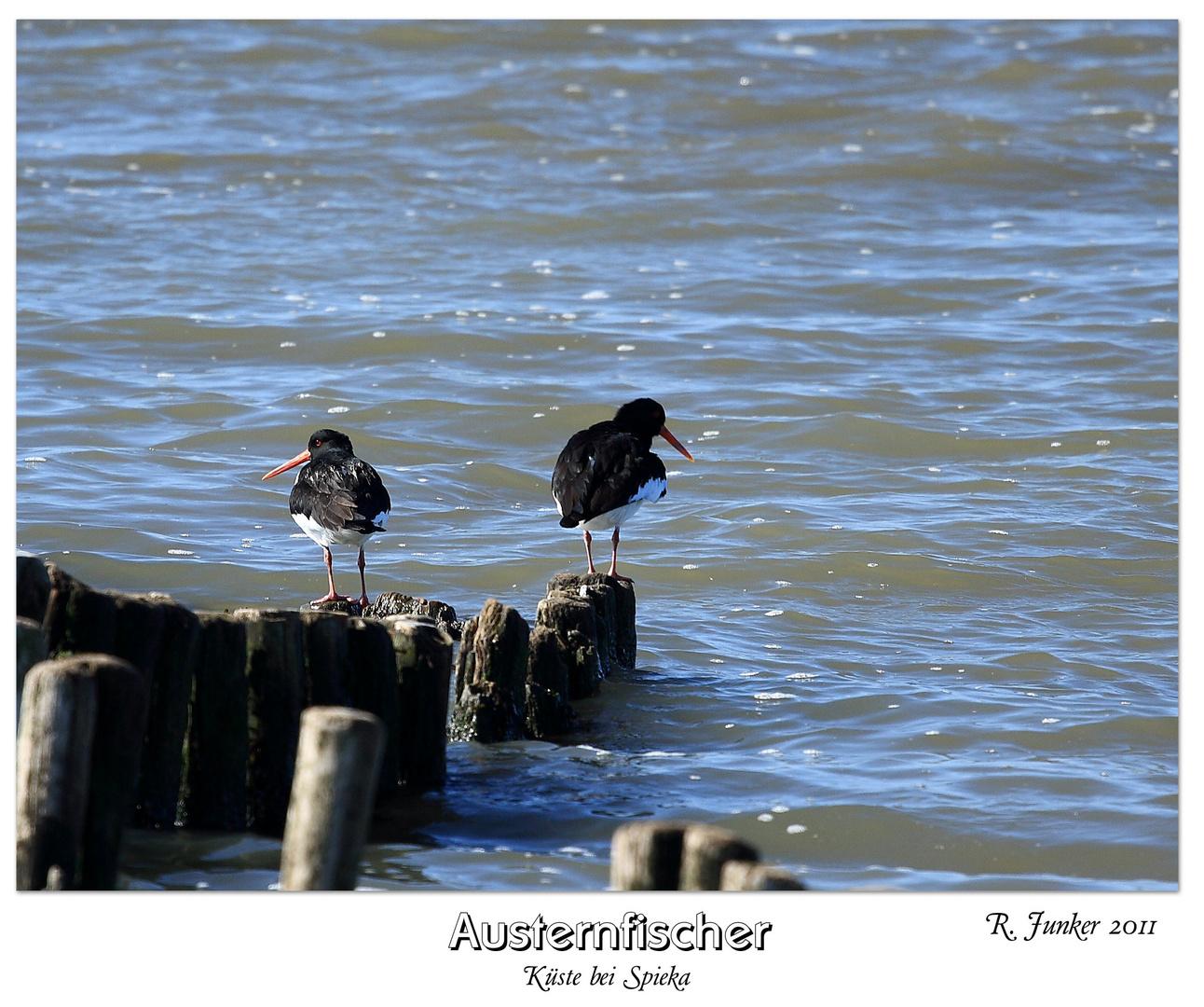 Austernfischer bei Spieka 2