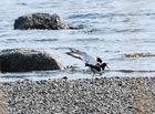 Austernfischer in einer liebevollen Akt