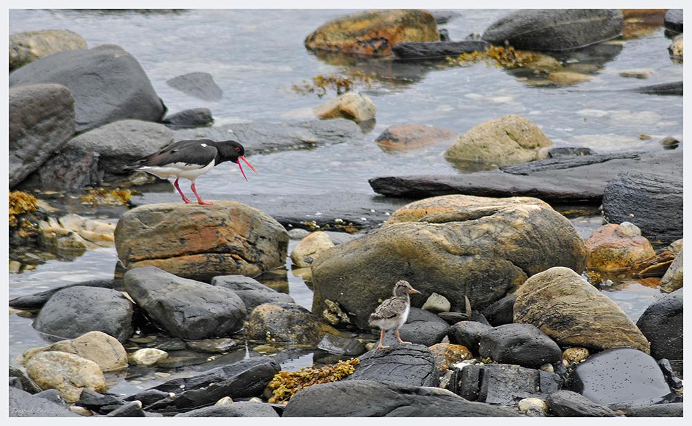 Austernfischer Nachwuchs