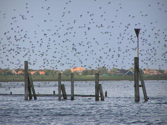 Austernfischer vor Spiekeroog