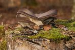 Austernseitling (Pleurotus ostreatus ?)