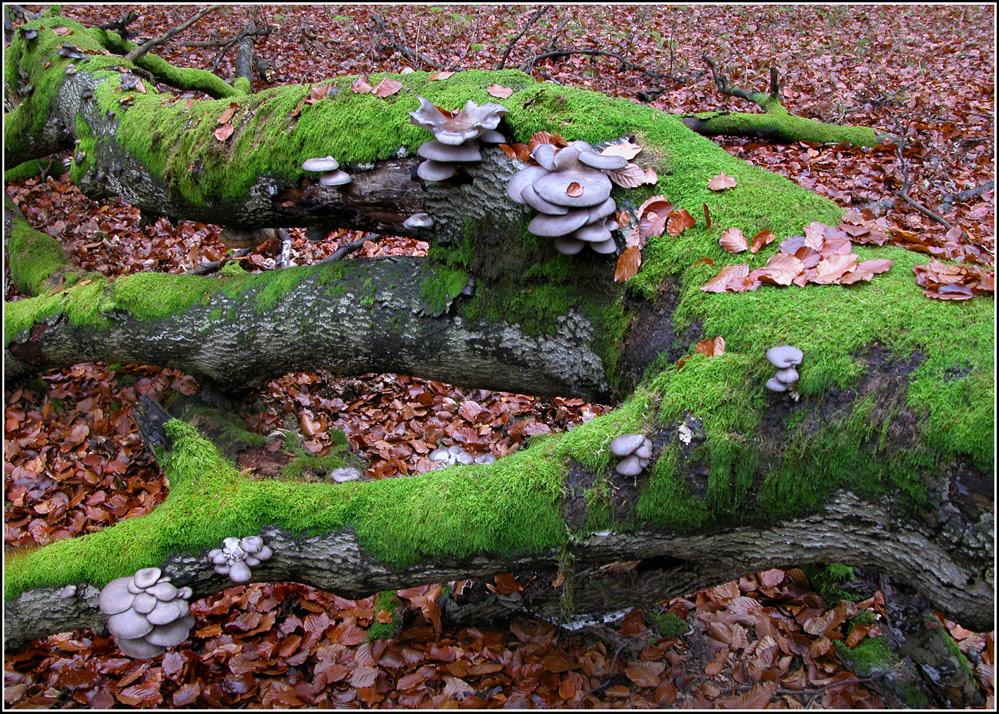 austernseitlinge im anmarsch foto bild pflanzen pilze flechten pilze flechten. Black Bedroom Furniture Sets. Home Design Ideas