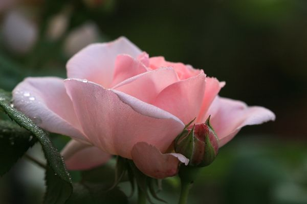 Austin-Rose Eglantyne