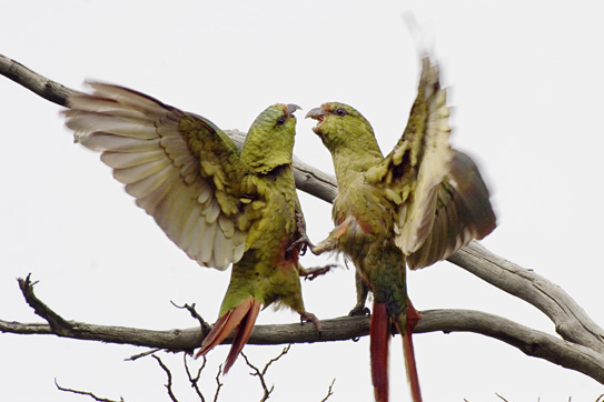 Austral Parakeets Fighting
