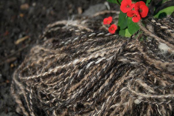 australian shepherd chiengora