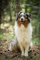 Australian Shepherd | Finn