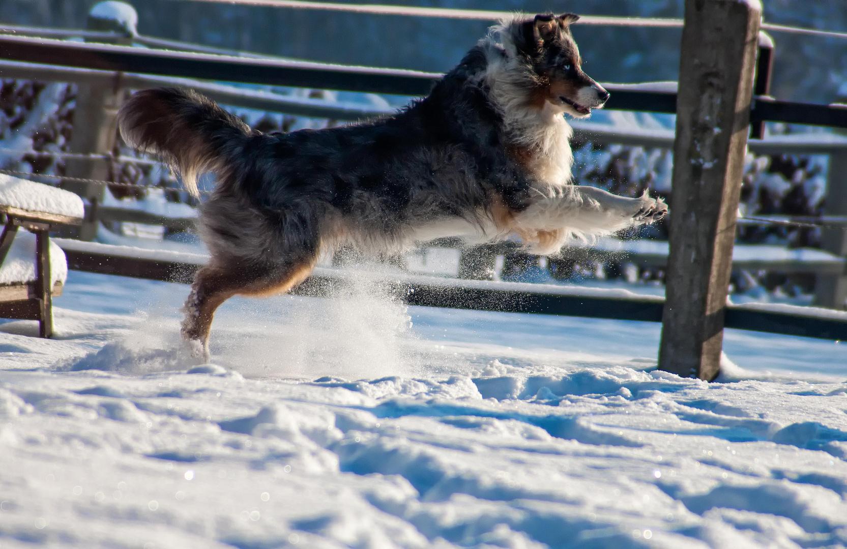 Australian Shepherd im Schnee