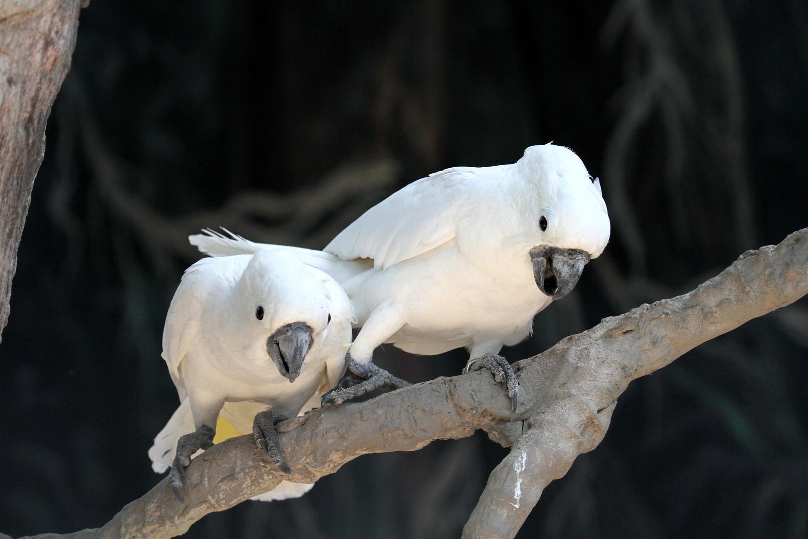 Australian speaking Parrot