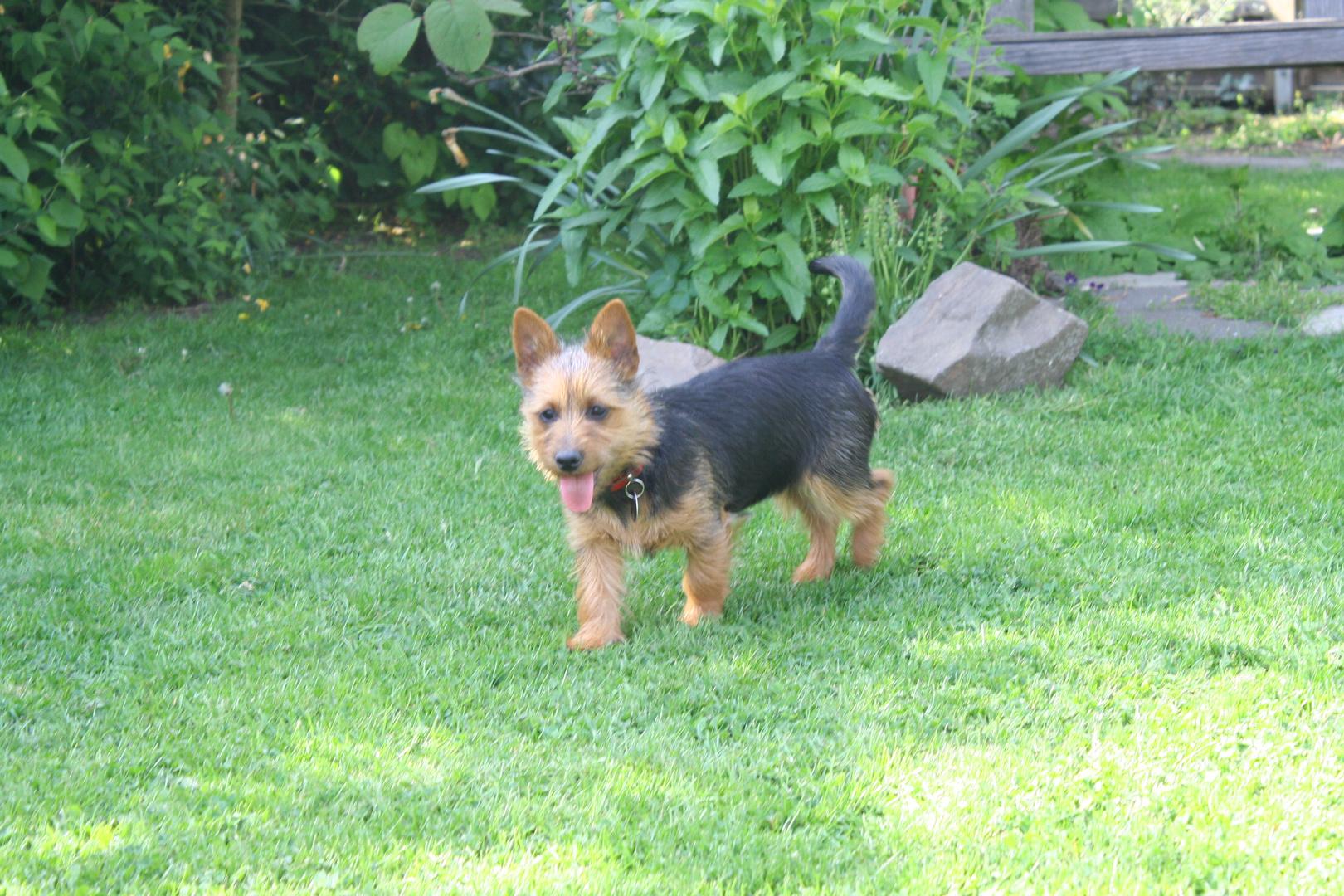 Australian Terrier 5 Monate alt